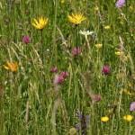 Pflege von artenreichen Wiesen